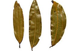 BAY-leaves1