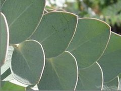 Eucalyptus_silver dollar tree