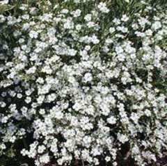 Gypsophila_(baby's_breath)